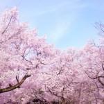 花見参考画像 (1)