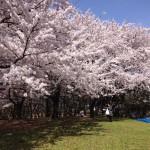 0409-新潟市 お花見 桜
