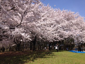 0409-新潟市-お花見-桜-1024x768