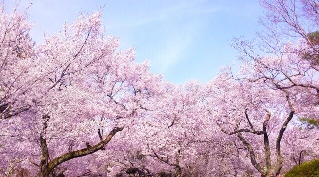 新潟市 花見