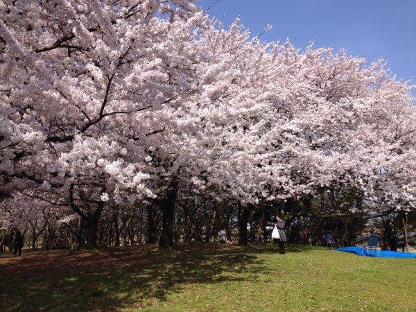 新潟市 お花見