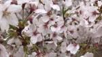 <b>お花見イベント❀2週続けて開催します(´I `*)♪</b>