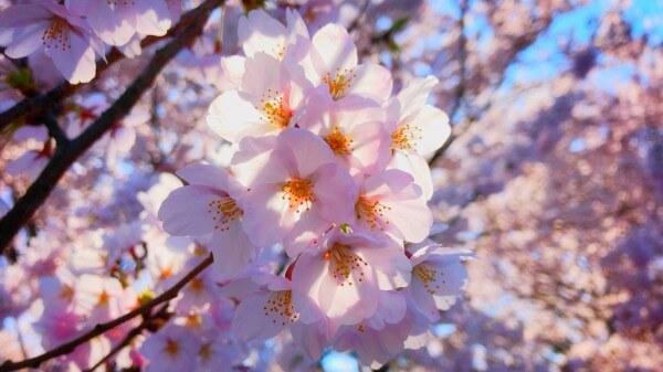 新潟 お花見